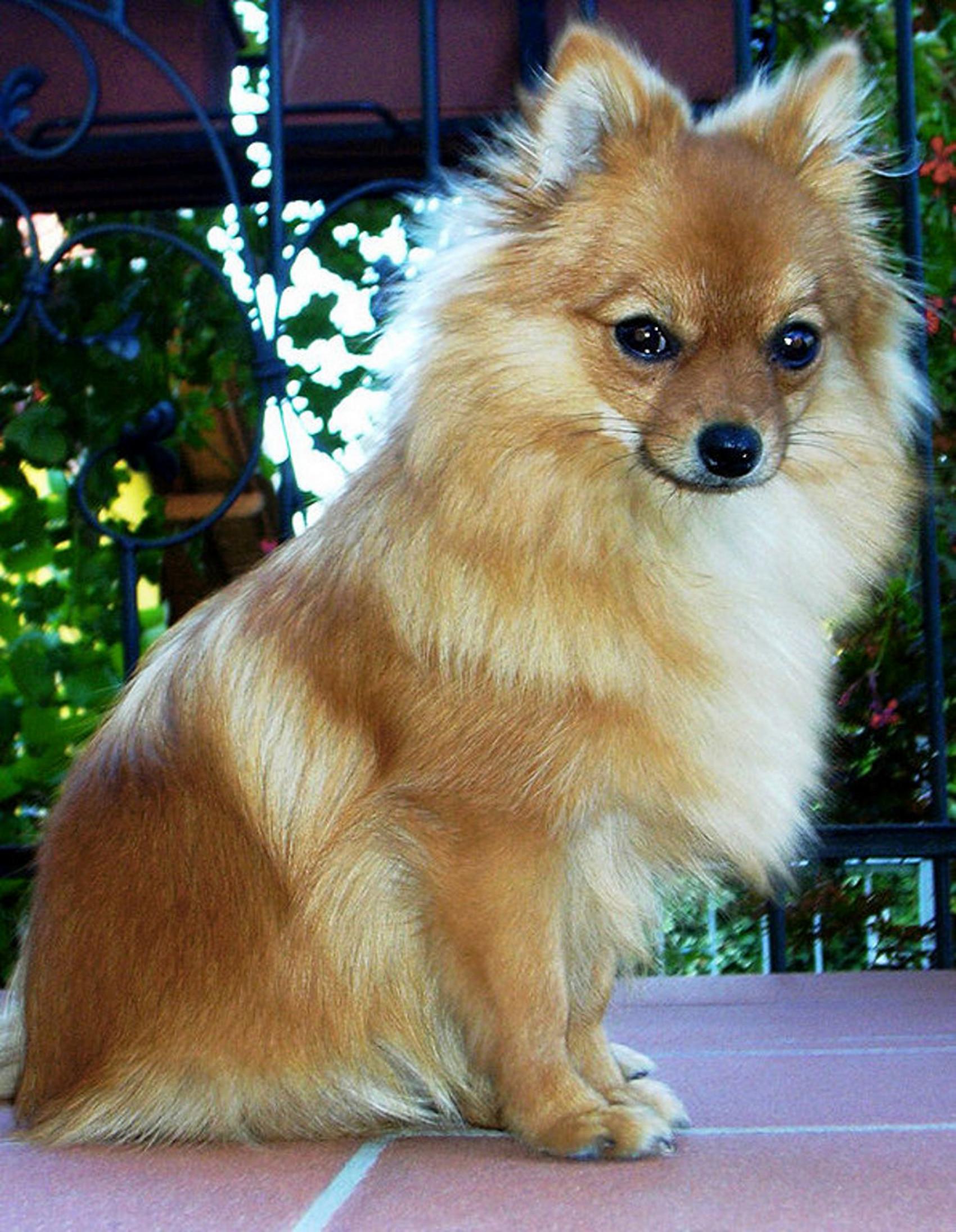 Bellissi cani di diverse razze sfondi wallpapers gratis for Cane volpino