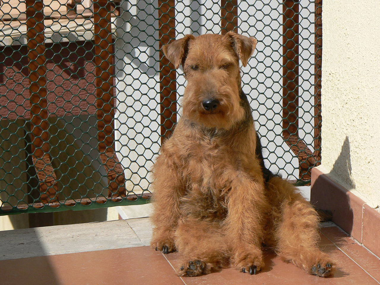Cane di razza Welsh Terrier